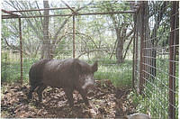 Boar in Trap